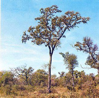 Schinopsis balansae - Source: Libro del Árbol, Tome II, Celulosa Argentina S. A., Buenos Aires, Argentina. Credit: Mr. Jorge Vallmitjana