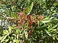Schinus terebinthifolia, loof en vrugte, a, Pretoria.jpg
