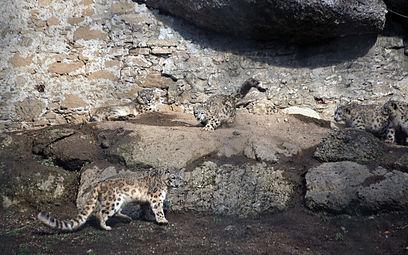 Schneeleoparden (Panthera uncia) Zoo Salzburg 2014 e.jpg