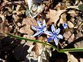Scilla drunensis sl39.jpg