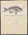 Scolopsis ciliatus - - Print - Iconographia Zoologica - Special Collections University of Amsterdam - UBA01 IZ13000214.tif