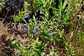 Scutellaria galericulata (15720419714).jpg