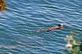 Sea Otter, Orcas Island.jpg