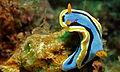 Sea Slug (Chromodoris annae) (8471611888).jpg