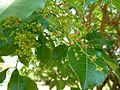Searsia chirindensis, blomme en vrugte, Pretoria NBT.jpg