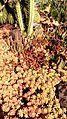Sedum and succulents at Huntington Library, Art Collections and Botanical Gardens.jpg