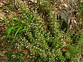 Sedum cepaea plant (04).jpg