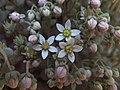 Sedum dasyphyllum Piazzo 04.jpg