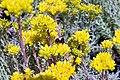 Sedum pinifolium Blue Spruce 5zz.jpg