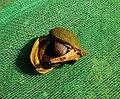 Seed of Camellia oleifera 3.jpg