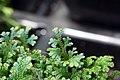Selaginella uncinata 5zz.jpg