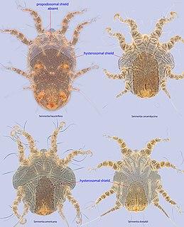 <i>Sennertia</i> genus of mites