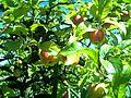 September apples in Denzlingen - panoramio (1).jpg