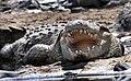 Serengeti Nile croc JF.jpg