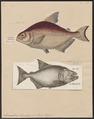 Serrasalmo rhombeus - 1700-1880 - Print - Iconographia Zoologica - Special Collections University of Amsterdam - UBA01 IZ14700099.tif
