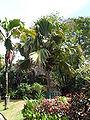 Sey Palm 1956.JPG