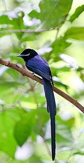 Seychelles paradise flycatcher species of bird
