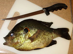 Redear sunfish - Large shellcracker before preparation for consumption
