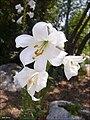 ShoshanTzachor wiki-Zachi-Evenor.jpg