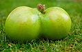 Siamese Apple.jpg