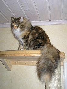 Siberian cat tail.JPG