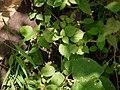 Sida ¿ cordifolia ? (6256819484).jpg