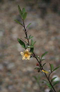 240px-Sida_rhombifolia_1.jpg