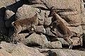Sierra De Guadarra - Young Ibex Fighting 2.jpg