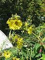 Silphium laciniatum (15196991549).jpg