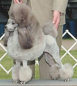 Poodles Most Intelligent Breeds of Dogs