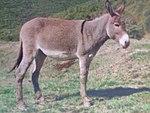 Sjevernojadranski magarac.JPG