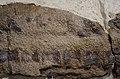 Skin impressions - Edmontosaurus - Museum of the Rockies - 2013-07-08.jpg