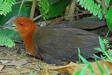 白喉斑秧鸡