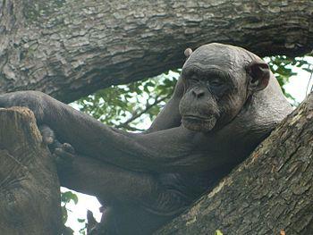 Sleeping Chimp.jpg