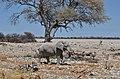 Slon směřující k napajedlu v Okaukuejo, Etosha - Namibie - panoramio (1).jpg