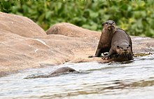 Smooth-coated otter, Tungabhadra River Bank, Humpi, Karnataka, India