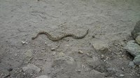 Файл:Snake on Yosemite Falls Trail.ogv