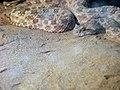 Snakes of iran مارها در ایران 06.jpg