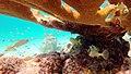 Snorkeling Bari Reef, Bonaire (12841304654).jpg