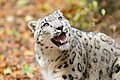 Snow Leopard Looking Up.jpg
