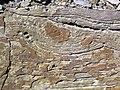 Soft-sediment deformation in sandstone (Vinton Member, Logan Formation, Lower Mississippian; Rt. 16 roadcut northeast of Frazeysburg, Ohio, USA) 8 (40692855831).jpg