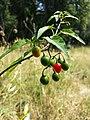 Solanum dulcamara sl4.jpg