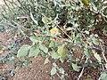 Solanum villosum subsp. alatum sl56.jpg