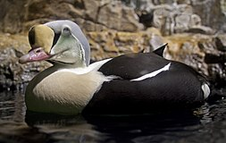 Somateria spectabilis -Central Park Zoo, New York, USA -male-8a.jpg