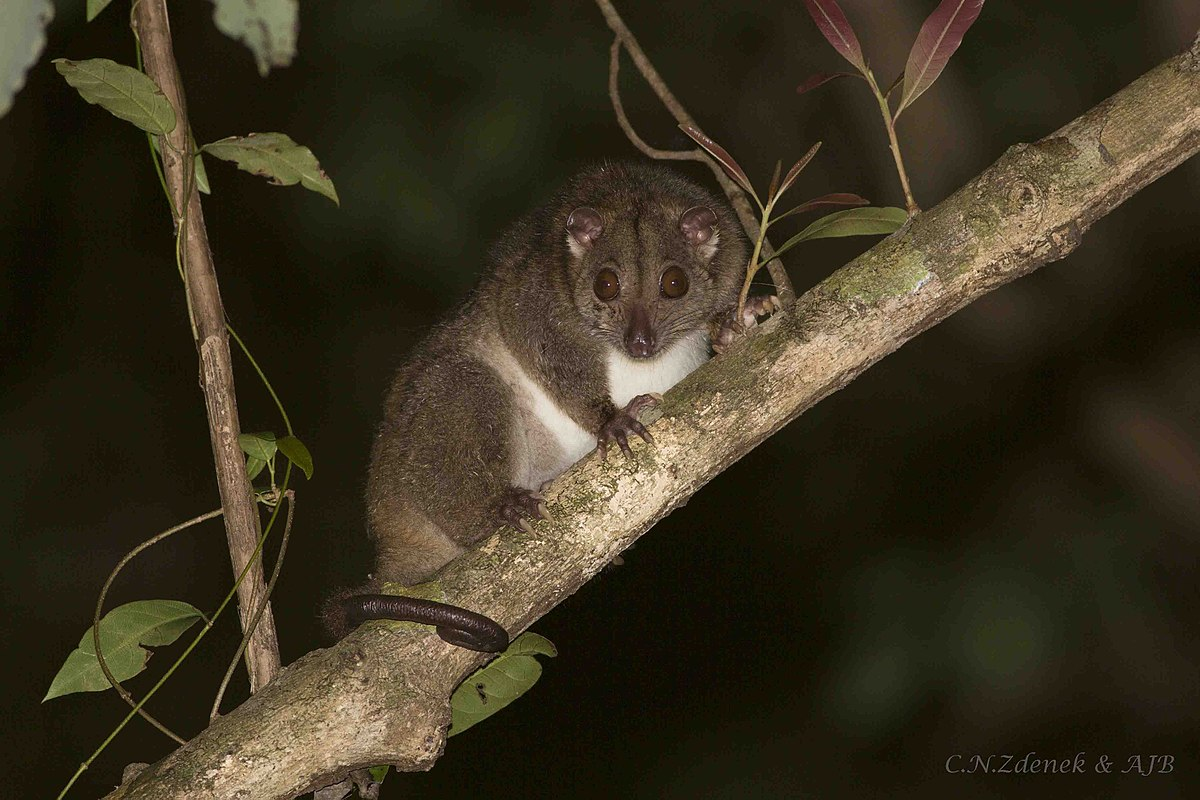 Southern Common Cuscus Wikipedia