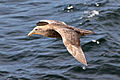 Southern Giant Petrel (immature).jpg