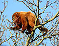 Southern brown howler monkey male sp zoo 2.jpg