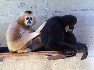 Southern white-cheeked gibbon.jpg