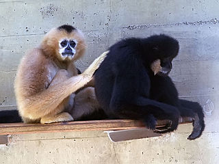 Southern white-cheeked gibbon species of mammal