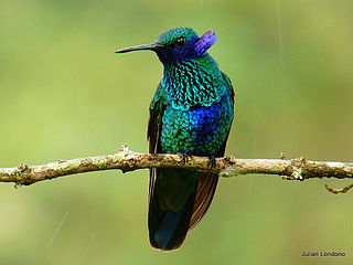 Le colibri, gros plan dans OISEAUX 320px-Sparkling_Violet-ear_%28Colibri_coruscans%29_11